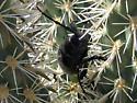 Cactus Longhorn Beetle? - Moneilema gigas