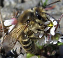 Early Spring Bee on Draba - Colletes inaequalis