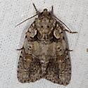 Moth - Acronicta ovata