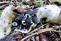 Margined Carrion Beetles - Oiceoptoma noveboracense
