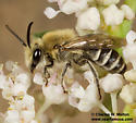 Colletidae? - Colletes - male