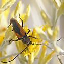 Beetle - Crossidius punctatus
