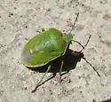 Greenish Stink Bug - Chlorochroa rossiana