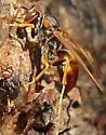 paper wasp? - Polistes rubiginosus