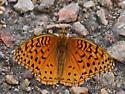 Butterfly - Speyeria aphrodite - male