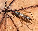 Stilt-legged Fly - Rainieria antennaepes
