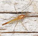Chironomidae - Pseudochironomus - male