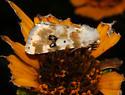 Goldenrod Flower Moth - Schinia nundina