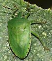 Green Shield Bug - Nezara viridula