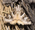 Moth - Drasteria walshi