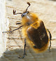 Bee-like beetle - Lichnanthe vulpina