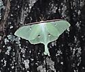 Luna Moth? - Actias luna