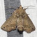 Large Paectes Moth - Hodges #8962 - Paectes abrostoloides - female