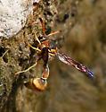 Hymenoptera-Eumenes ? - Eumenes aureus