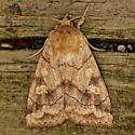 Moth-9 - Enargia decolor