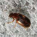 Unknown Beetle - Bradycellus harpalinus
