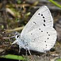 Small blue butterfly at Two Medicine/Glacier Park - Glaucopsyche lygdamus - female