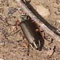 Orange-legged blister beetle - Lytta