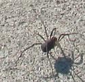 arachnid in neighborhood on 2020 May 08