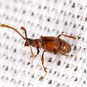 Ant-loving Beetle - Atinus monilicornis