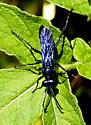 A blue/black wasp