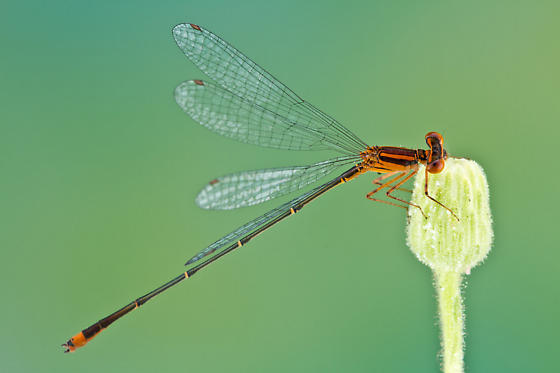 damselfly - Enallagma pollutum - male