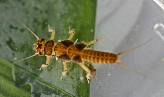 Perlid stonefly, genus Perlesta - Perlesta
