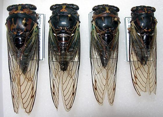 Tibicen lyricen forms lyricen and engelhardti  - Neotibicen lyricen - male - female