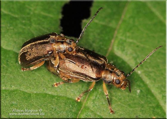 Unknow coleopterac - Pyrrhalta viburni