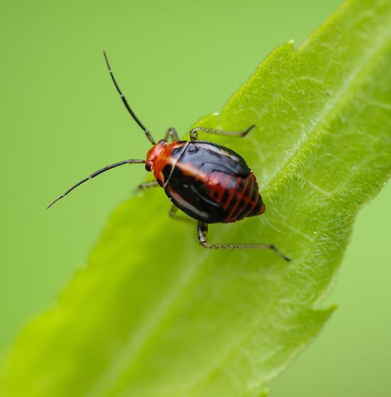 Miridae - Poecilocapsus lineatus
