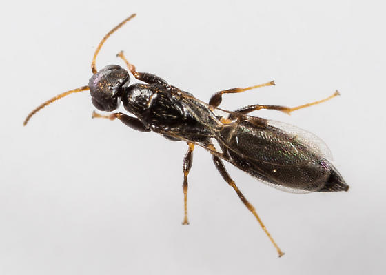 Small Wasp - Goniozus