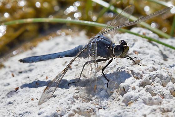 Dragonfly - Erythemis collocata - male