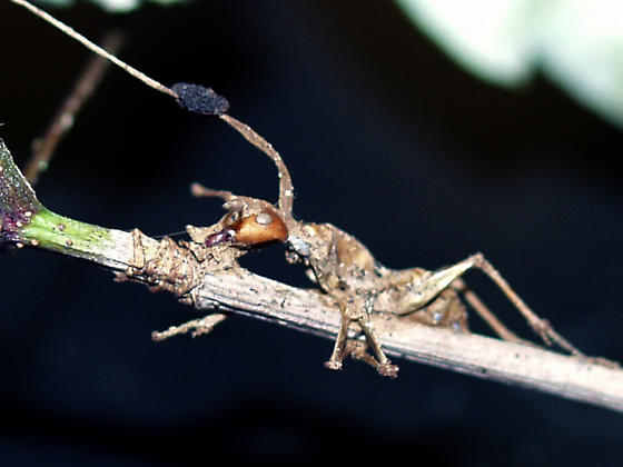 Cordyceps fungus growing out of unknown ant - Camponotus
