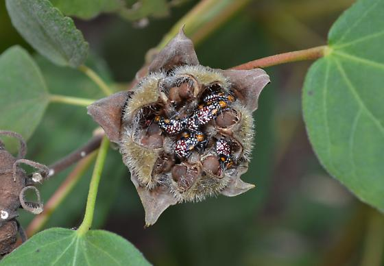 Unknown bugs - Rhopalidae? - Niesthrea louisianica