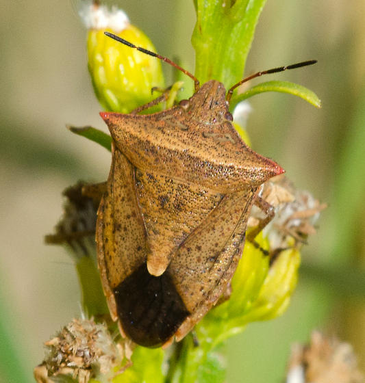 Brown Stinkbug - Euschistus ictericus
