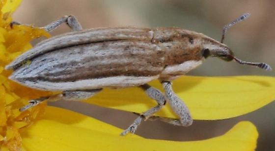 Scaphomorphus - Scaphomorphus pleuralis