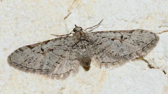 Eupithecia - please help us to identify the species. - Eupithecia bolterii