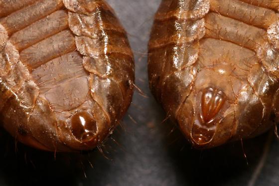 Sex determination from nymphal skins - Magicicada septendecim - male - female