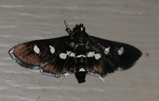 Desmia maculalis  - Desmia maculalis - female