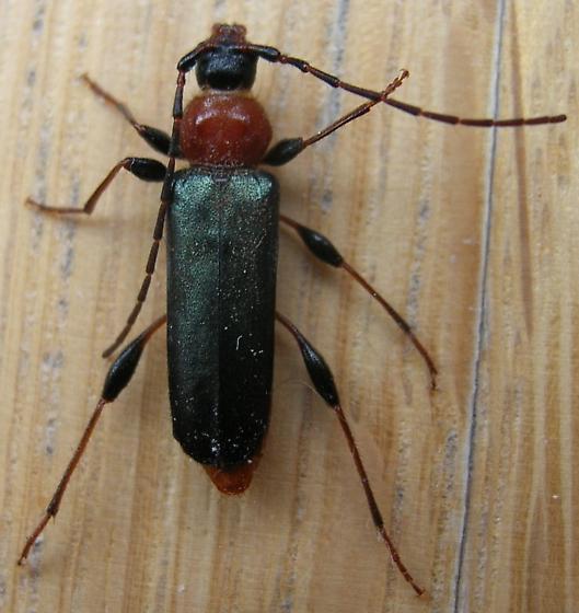 indoor beetle - Phymatodes testaceus