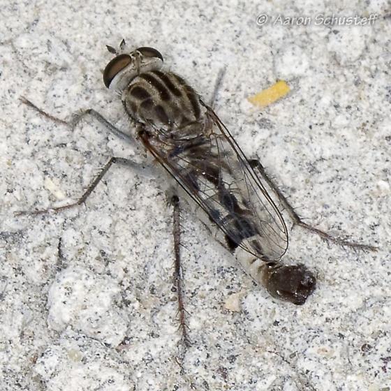 Apiocera from Southeastern Oregon - Apiocera haruspex - male