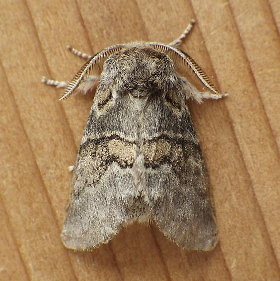 Notodontidae: Gluphisia septentrionis - Gluphisia septentrionis - male