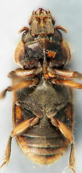 Lapsus tristis - Heterocerus fenestratus
