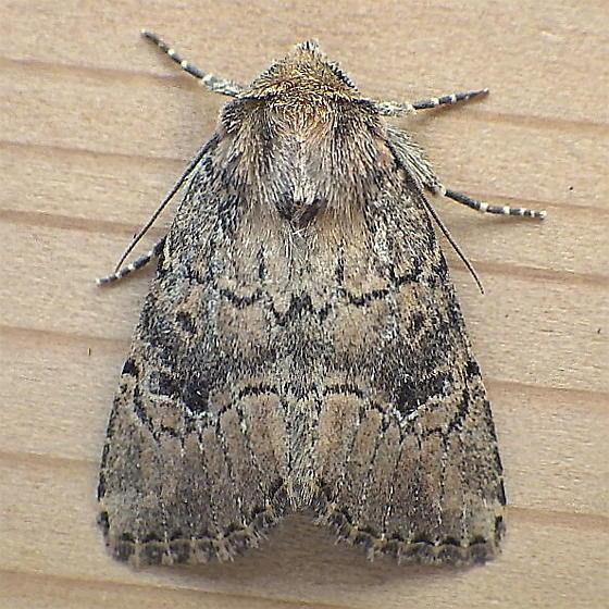 Noctuidae: Anhimella contrahens - Anhimella contrahens