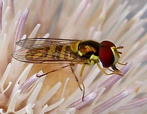 unknown dipteran - Allograpta obliqua - male