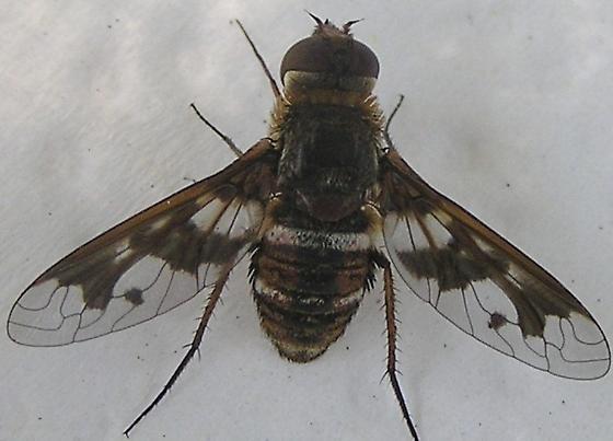 Bee Fly II - Exoprosopa butleri