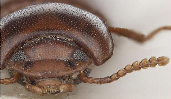 Gnatocerus maxillosus