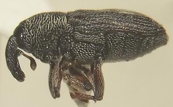 Stictobaris cribrata LeConte - Stictobaris cribrata