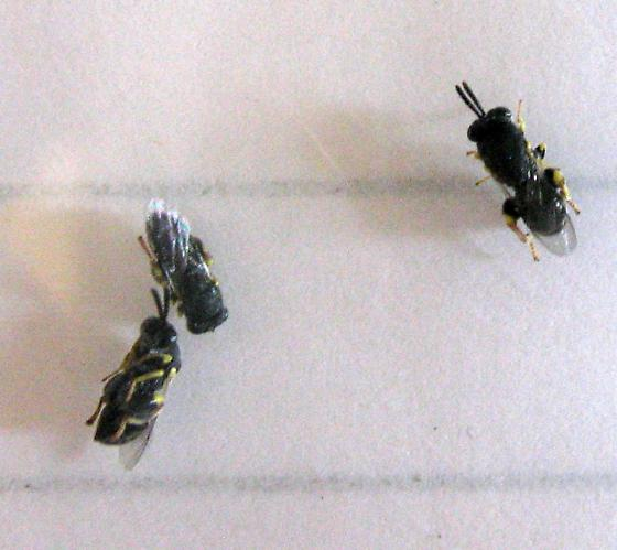 Chalcididae mass 9-10-11 01b - Brachymeria - female