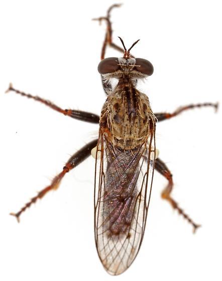 Robber fly - Metapogon punctipennis - male